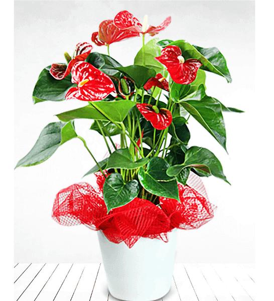İlk bakışta aşık olunur da ilk bakışta bir çiçeğin duruşundan etkilenilmez mi? Çiçeklerin görselliği en iddialı türlerinden biri olan antoryumun saksı içinde hazırlanmış 60 cm boyu ile gösterişli iç mekanlar için hazırlanmış sunumu.